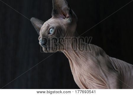 kitten of the canadian Sphynx looks down blue eyes bald cat hairless skin with wrinkles