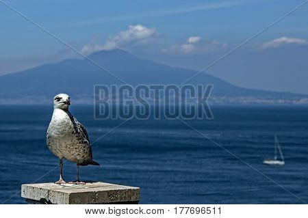 A seagull in a park on the coast in Sorrento Italy.
