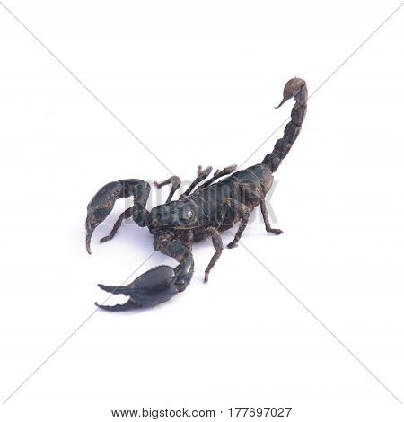Giant Asian Black Scorpion Isolated On White
