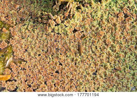 Azolla (mosquito fern duckweed fern fairy moss water fern)