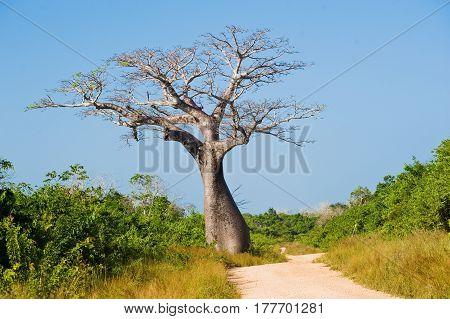 large baobab tree near the road in the savannah