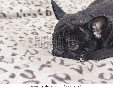 Black French Bulldog Dog Sitting On The Sofa Look