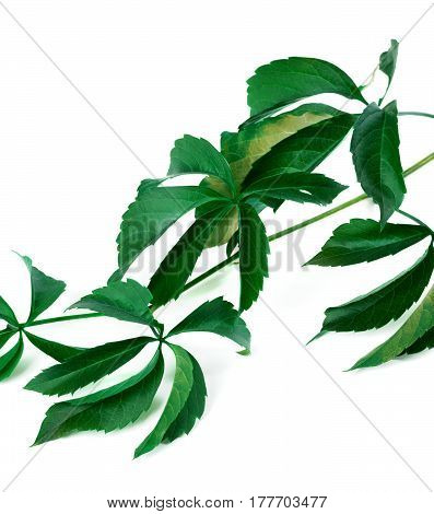 Branch Of Green Grapes Leaves (virginia Creeper Foliage)