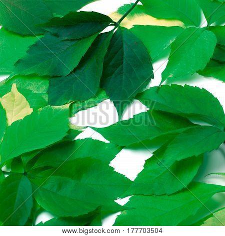 Scattered Green Leaves. Virginia Creeper Leaves.