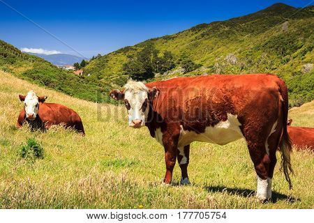 brown cows at the meadow. Location: New Zealand, Wellington