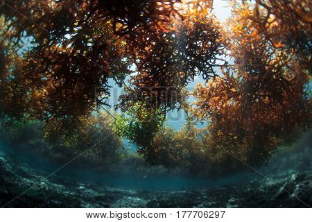 Underwater shot of the sea weed garden on the island of Nusa Penida, Bali, Indonesia