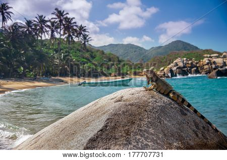 view on Iguana relaxing on a rock in the sun in National park Tayrona