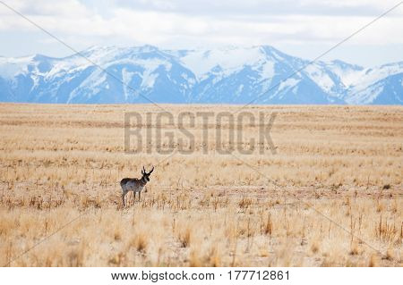 Picture of adult deer standing alone at deserts of Antelope Island with snowcapped mountains on the background