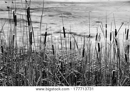 Dry reeds in thickets on a winter swamp