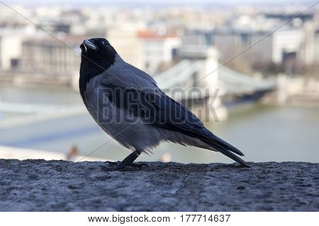 Old hooded crow walking in the castle bastion in Budapest. Closeup photo of a hooded crow at Budapest Castle. Close up of a corvus cornix aka crow in Budapest Hungary castle