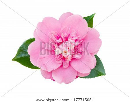 Tender pink camellia anemone form flower with leaves isolated on white