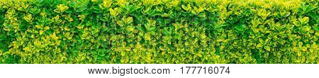 Variegated golden euonymous bush hedge long horizontal background