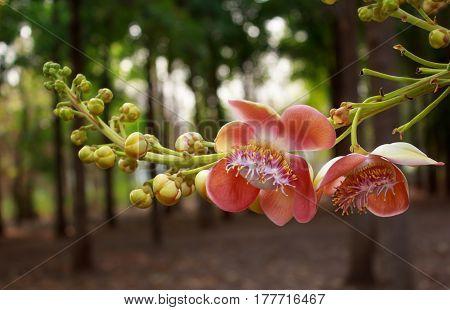 closeup Sal flowers on tree in garden