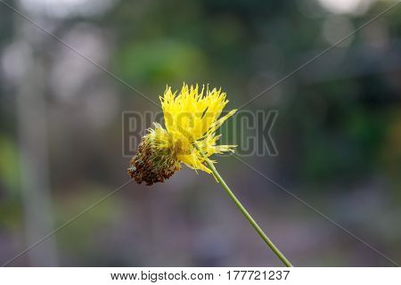 Yellow flower of water mimosa water sensitive plant.