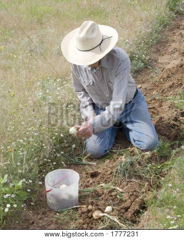 Man Gathering Onions