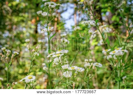 Blooming white flowers of Matricaria chamomilla wild chamomile in the meadow of woods at evening lighting. Scented mayweed in bloom with a blurred background.