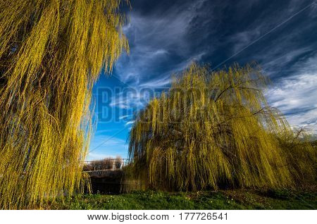 Towering weeping willow trees along the Lea Canal in London stand out with their yellow foliage against the blue sky