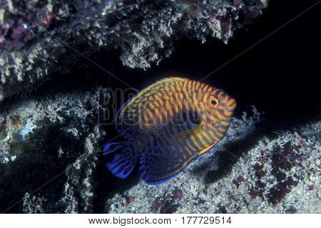 An endemic Potter's Angelfish, Centropyge potteri swims on a Hawaiian reef