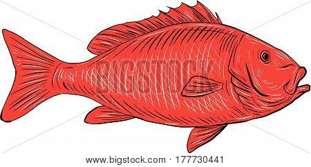 Drawing sketch style illustration of an Australasian snapper silver seabream Pagrus auratus a species of porgie found in coastal waters of Australia Philippines Indonesia China Taiwan Japan and New Zealand swimming viewed from the side set on isolated whi
