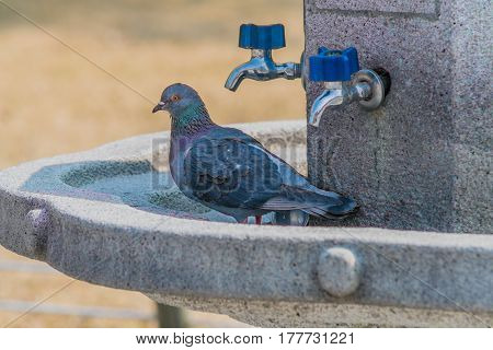 Pigeons sitting on a concrete water fountain with blue handle on chrome faucets and a can in the trough