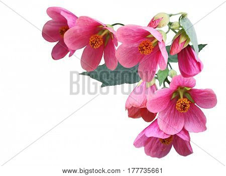 Pink Abutilon hybridum  Plarlour maple flower isolated on white background