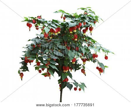 Abutilon megapotamicum Red and Yellow Chinese Lantern Flower