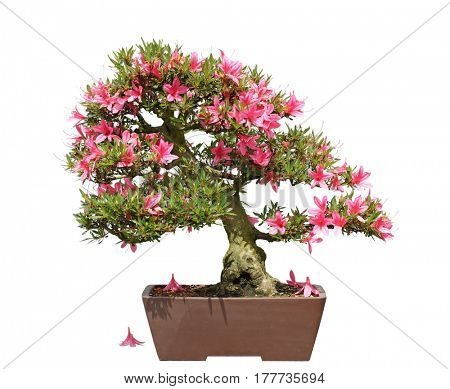 Rhododendron Indicum Satsuki Azalea Bonsai in the planter isolated on white background