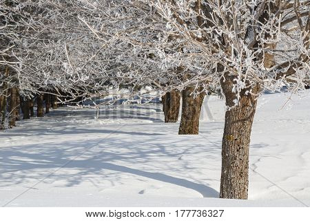 Snow blanketing mature maple trees.