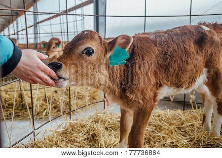 Human hand are touching a calf nose. Calf licks the hand of human
