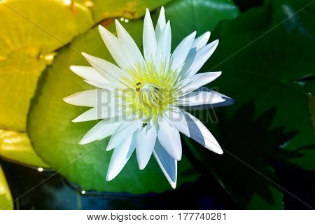 white water lily in sunshine flower background