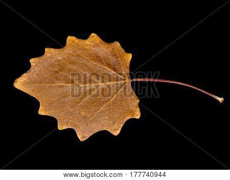 autumn leaf on a black background . A photo