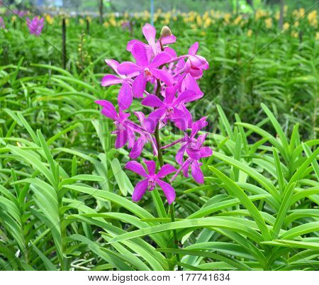 Purple orchid flower over orchid garden background
