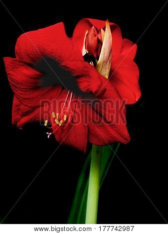 Blooming amaryllis over black background two flowers open