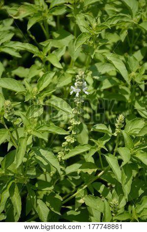 fresh green hairy basil plant in nature garden