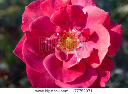 Close up red rose flower in the garden