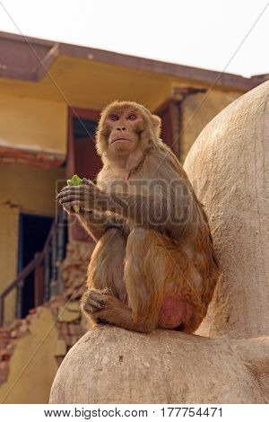 Langur Monkey in the  city of Kathmandu Nepal