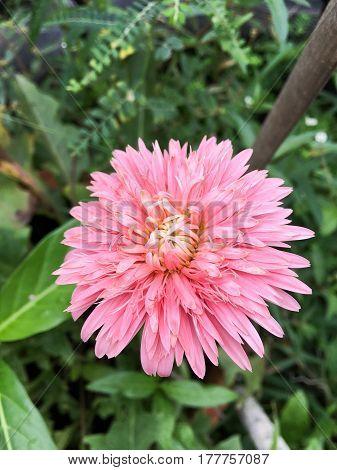 pink gerbera jamesonii flower in nature garden