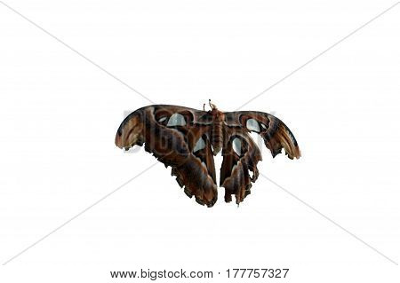 Atlas Moth Brown Wings Clipping Path Isolated
