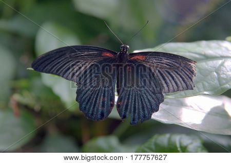 black butterfly with red spots perched on a leaf