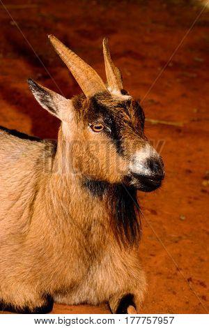 Brown, Black And White Goat Close-up. Goat Has Vivid, Menacing Eyes.