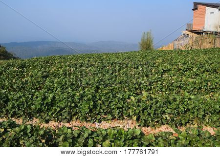 Strawberry farm, field,Mon Cham,Nong Hoi Royal Project,Mae Rim,Chiang Mai,Thailand