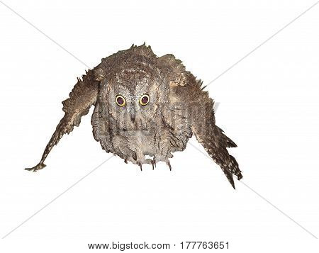 Scops Owl  Isolated on white background Puffed up