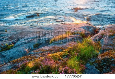 Waves of Lake Onega with the reflected light of the setting sun are beating against a granite shore with growing flowers and moss close-up. Selective soft focus.