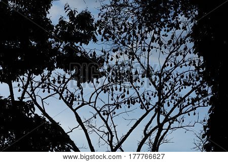 Silhouetted Image Of Flying Foxes Aka Fruit Bats