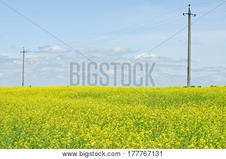 Rape field on power line and blue sky background