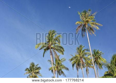 Upwards view of the tops of tall palm trees against a clear blue sky and a half moon in the distance.