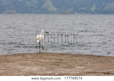 Snowy Egret Heron Bird