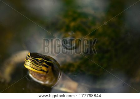 Red Eared Slider Terrapin