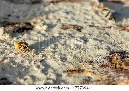 A golden shelled hermit crab crawls along a sand covered tree trunk on a white sand beach during golden hour.