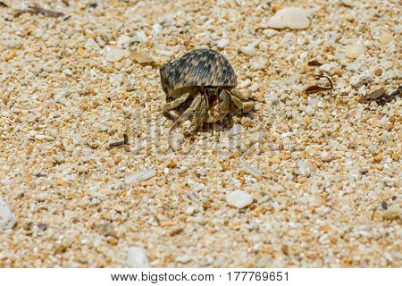 Close up of Hermit crab with beautiful shell on large grain sand beach.